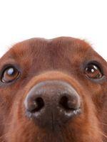 Какой нос должен быть у здоровой собаки?