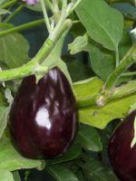 Баклажаны - выращивание и уход в открытом грунте, особенности лучших сортов