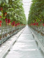 Посадка помидор в теплицу - рекомендации для хорошего урожая