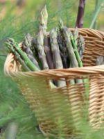 Спаржа - выращивание в открытом грунте, полезные советы при посадке