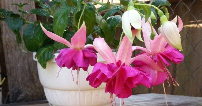 Фуксия, выращивание и уход в домашних условиях - простые правила