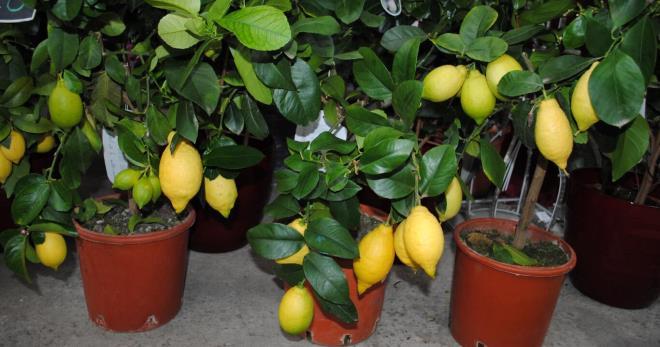Комнатный лимон - тонкости выращивания в домашних условиях
