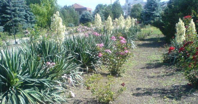 Цветок юкка - советы по уходу и выращиванию мини-пальмы