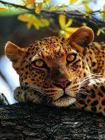 К чему снится леопард?