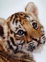 К чему снится тигренок?