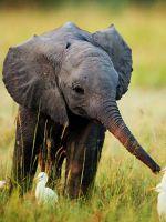 К чему снится слоненок?