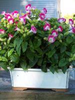 Торения - выращивание из семян в домашних условиях