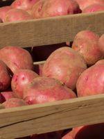 Как хранить картофель зимой в погребе?