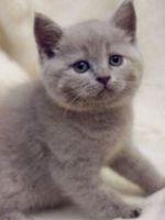 Британские котята - характер и уход