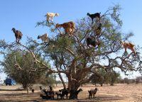 Древолазные козы Марокко