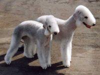 стрижки для собак 9