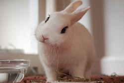 что можно есть декоративным кроликам