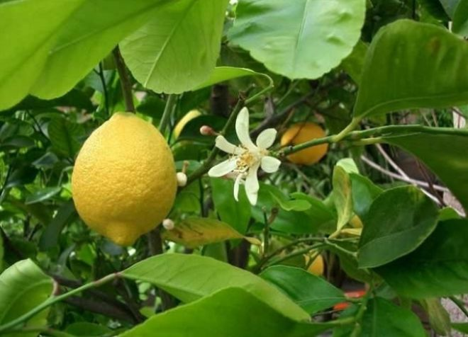 комнатный лимон дженоа