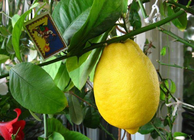 комнатный лимон курский