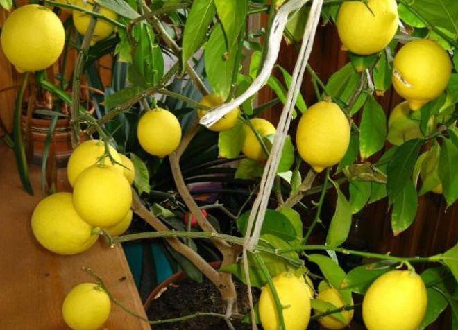 комнатный лимон новогрузинский