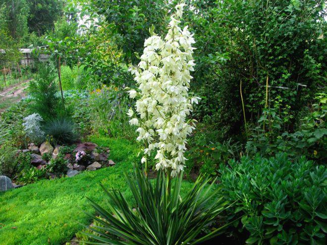 Домашний цветок юкка - почва