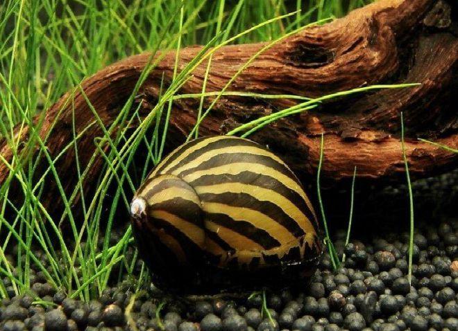 аквариумная улитка зебра