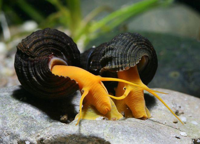 аквариумные улитки содержание и уход