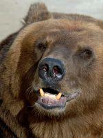 Как нарисовать медведя?
