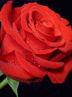 Как нарисовать розу поэтапно?
