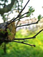 Когда можно прививать яблони весной?