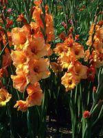 Гладиолусы - посадка и уход весной