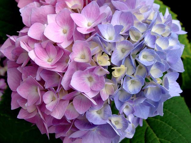 Окрасьте в синий цвет свои цветы