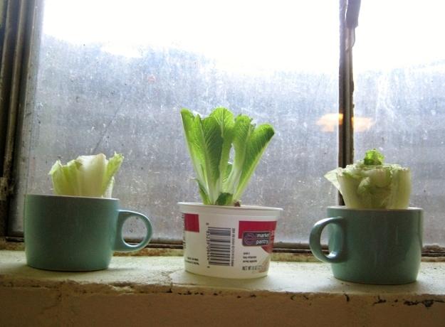 Вы можете вырастить разновидность салата «ромэн»