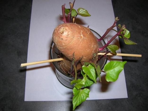 Сладкий картофель может дать ростки