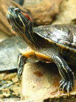 Сколько может красноухая черепаха без воды?