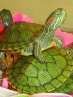 Что едят водные черепахи в домашних условиях?