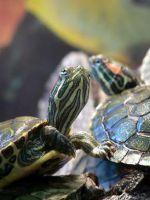 Красноухие черепахи - как определить возраст и пол?