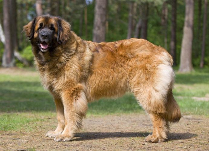 собак самой большой породы