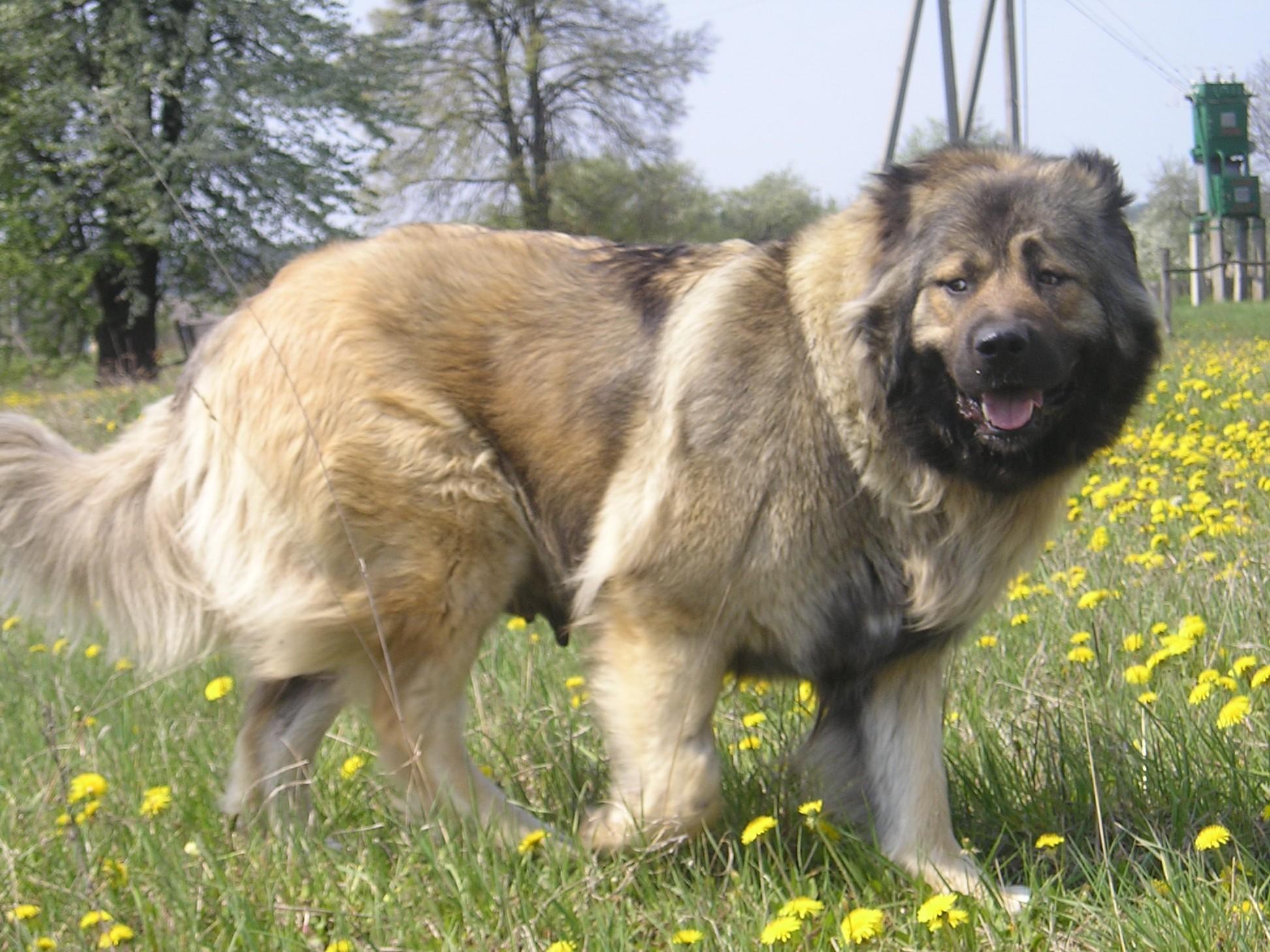 Охранные породы собак маленьких перевоплотился