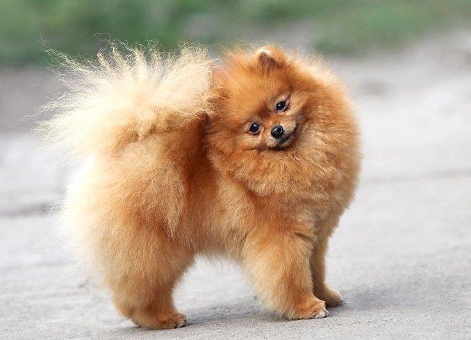 шпиц фото собаки