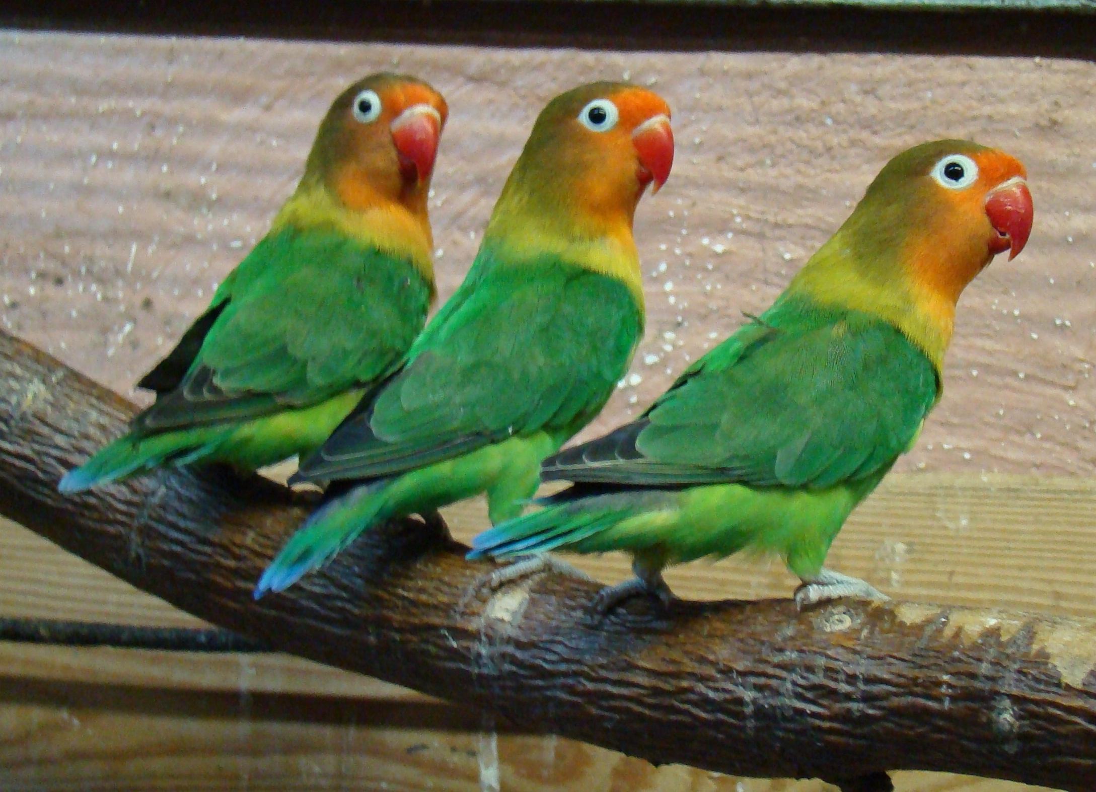 породы попугаев с фотографиями