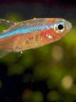 Манка у аквариумных рыб - лечение