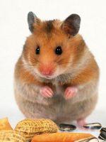 Что едят хомяки в домашних условиях?