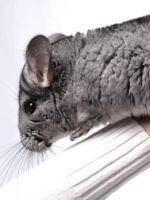 Как ухаживать за шиншиллой в домашних условиях - содержание, болезни