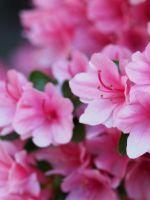 Как ухаживать за азалией - советы начинающим садоводам