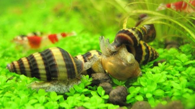 Чем питаются улитки в аквариуме