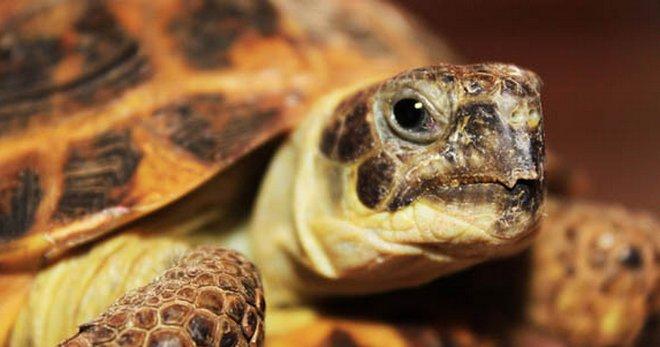 Как ухаживать за домашними черепахами