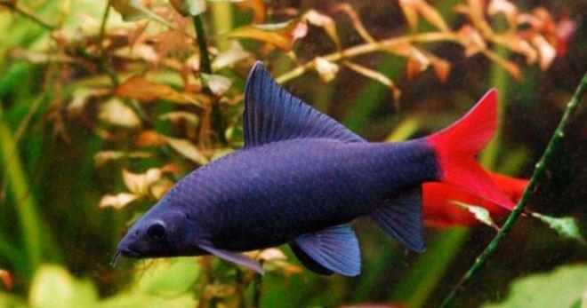 Лабео черный, или черный морулиус - эффектная по своей внешности аквариумная рыбка