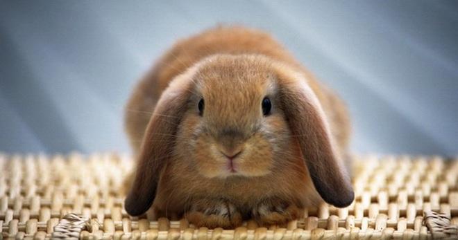 Декоративный кролик в домашних условиях, как правильно содержать и ухаживать?
