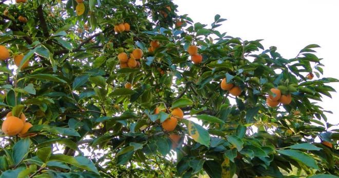 Как вырастить хурму - хитрости для получения домашнего урожая