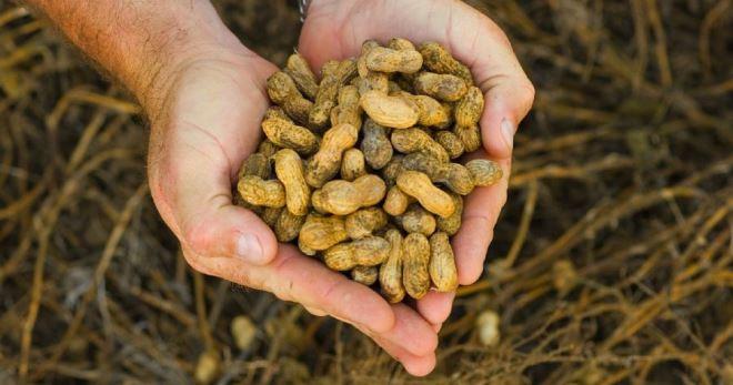 Как посадить арахис на огороде