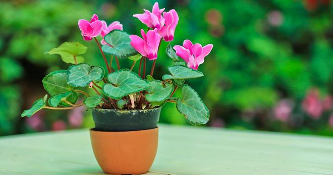 Как ухаживать за цикламеном в домашних условиях - основные правила выращивания