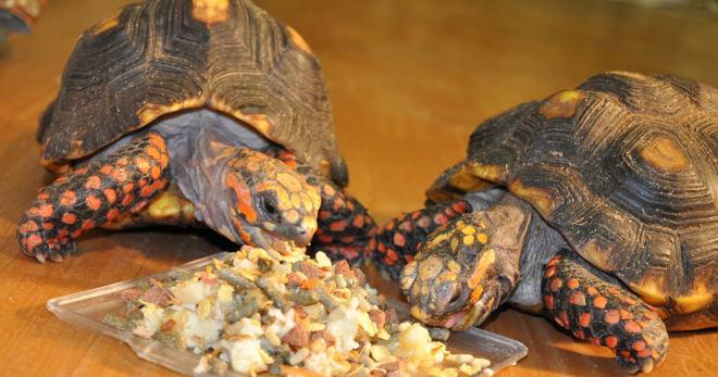 Сухопутная черепаха. уход в домашних условиях