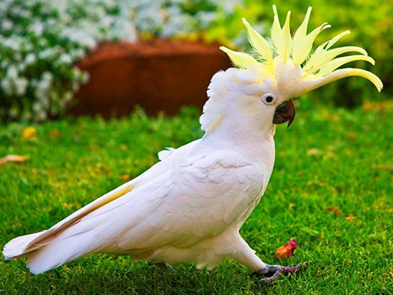 Попугай какаду своими руками