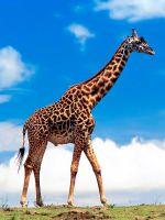 К чему снится жираф?